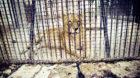 Löwin Donna ist eine von vier Grosskatzen, die im Zoo von Onesti (Rumänien) ein trostloses Leben auf bloßem Beton in klein