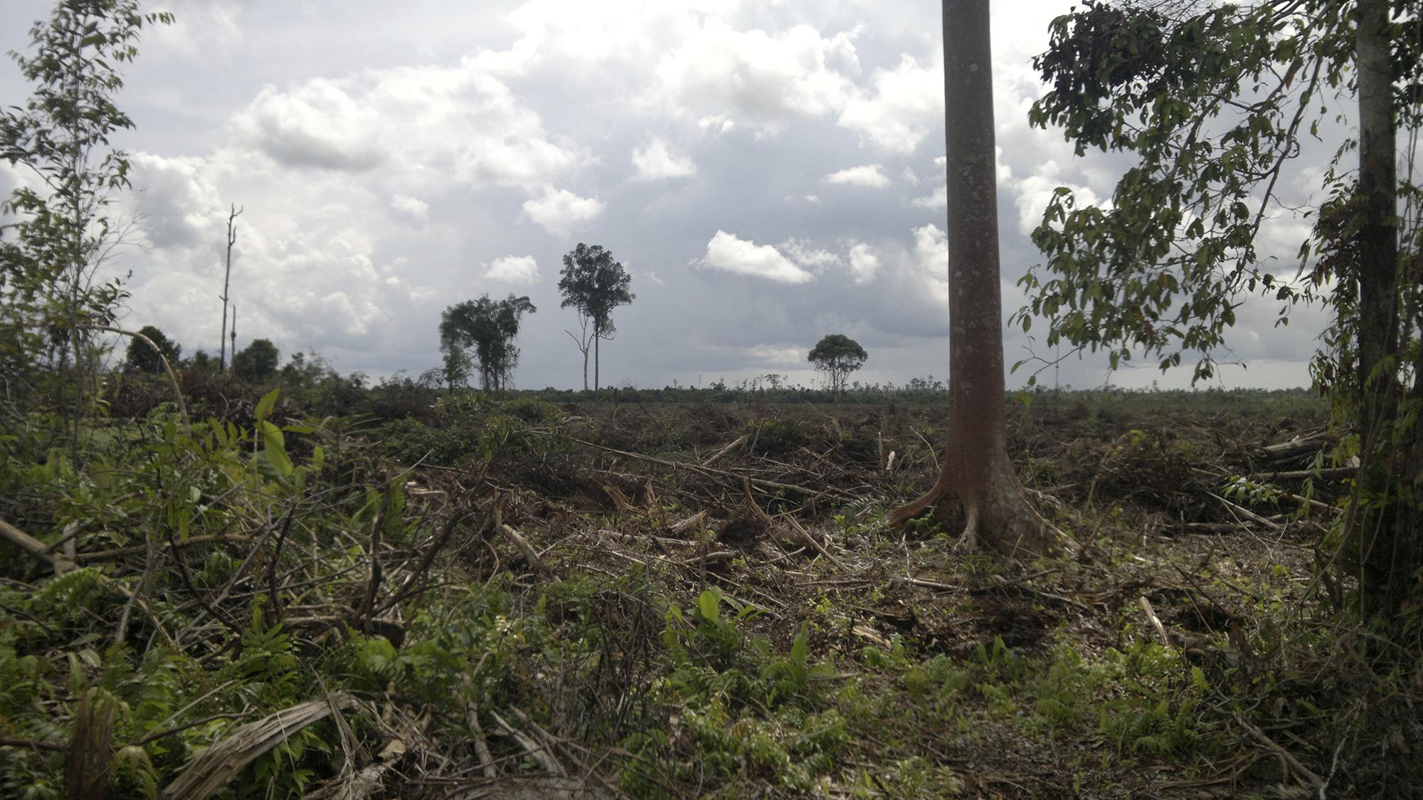 Abgeholzter Wald auf Borneo: Der globale Palmöl-Boom kostete allein in Indonesien und Malaysia 3,7 Millionen Hektar Regenwald.