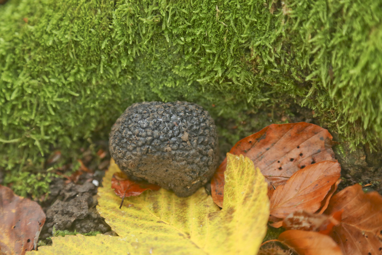 Begehrte schwarze Knolle: Trüffel gedeihen auch im Oberbaselbiet.