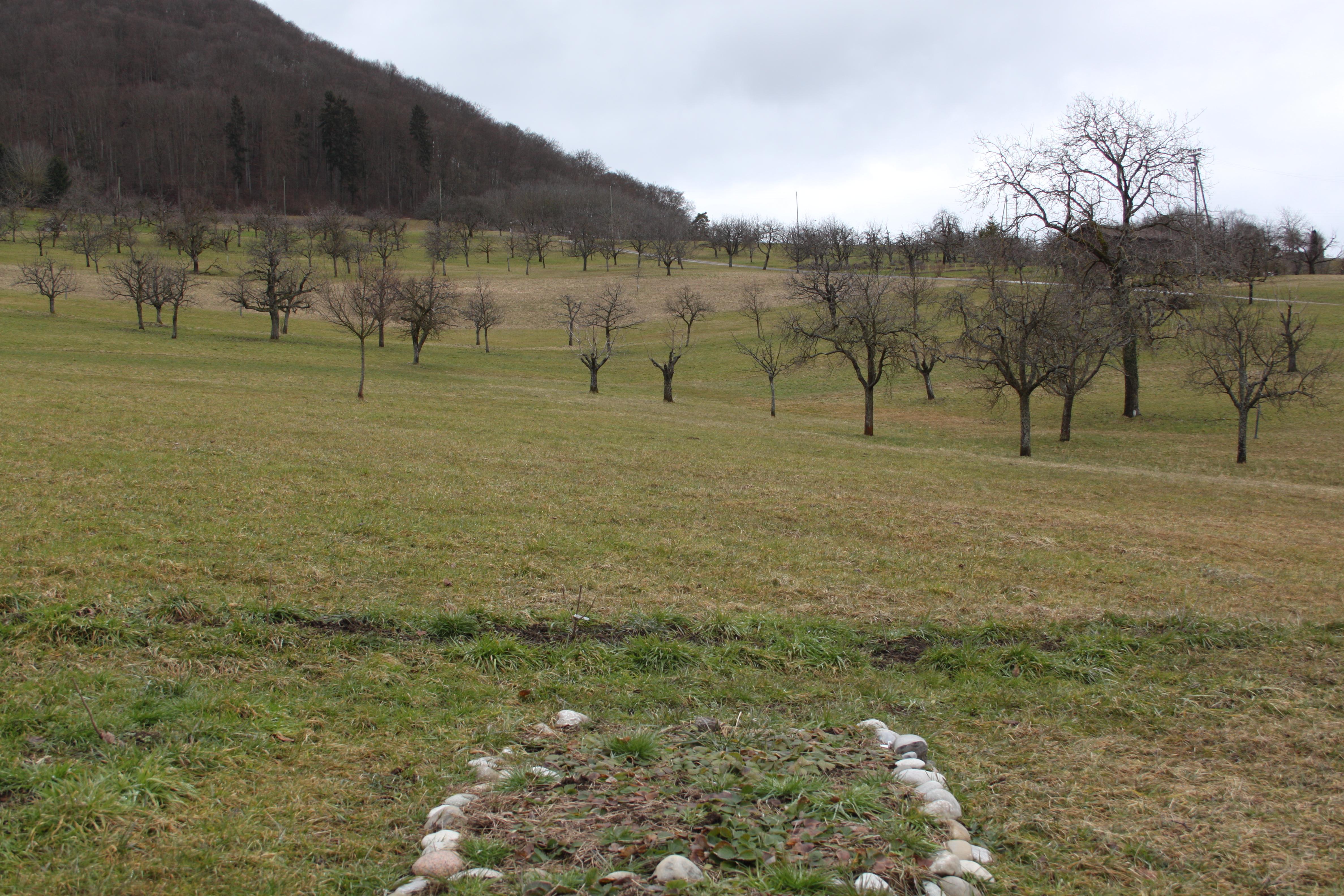 Eine derObstwiesen des Vereins Nuglar-Gärtenim Februar.Viel zu sehen gibt es dort für unkundige Augen nicht. Für Dominique Oser schon.