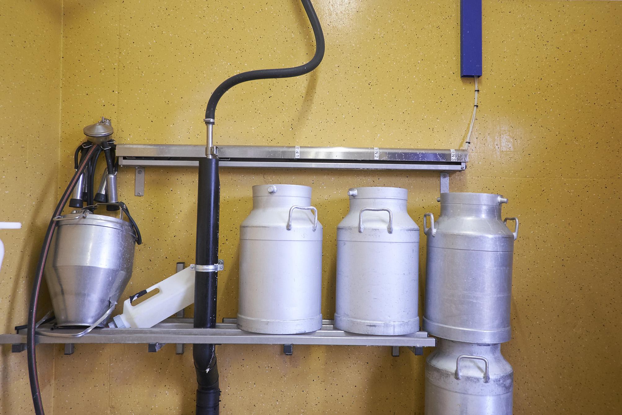 Hat eine Kuh erst kürzlich gekalbt, fliesst ihre Milch direkt vom Roboter in die Kannen für die Kälber und nicht in den grossen Tank.