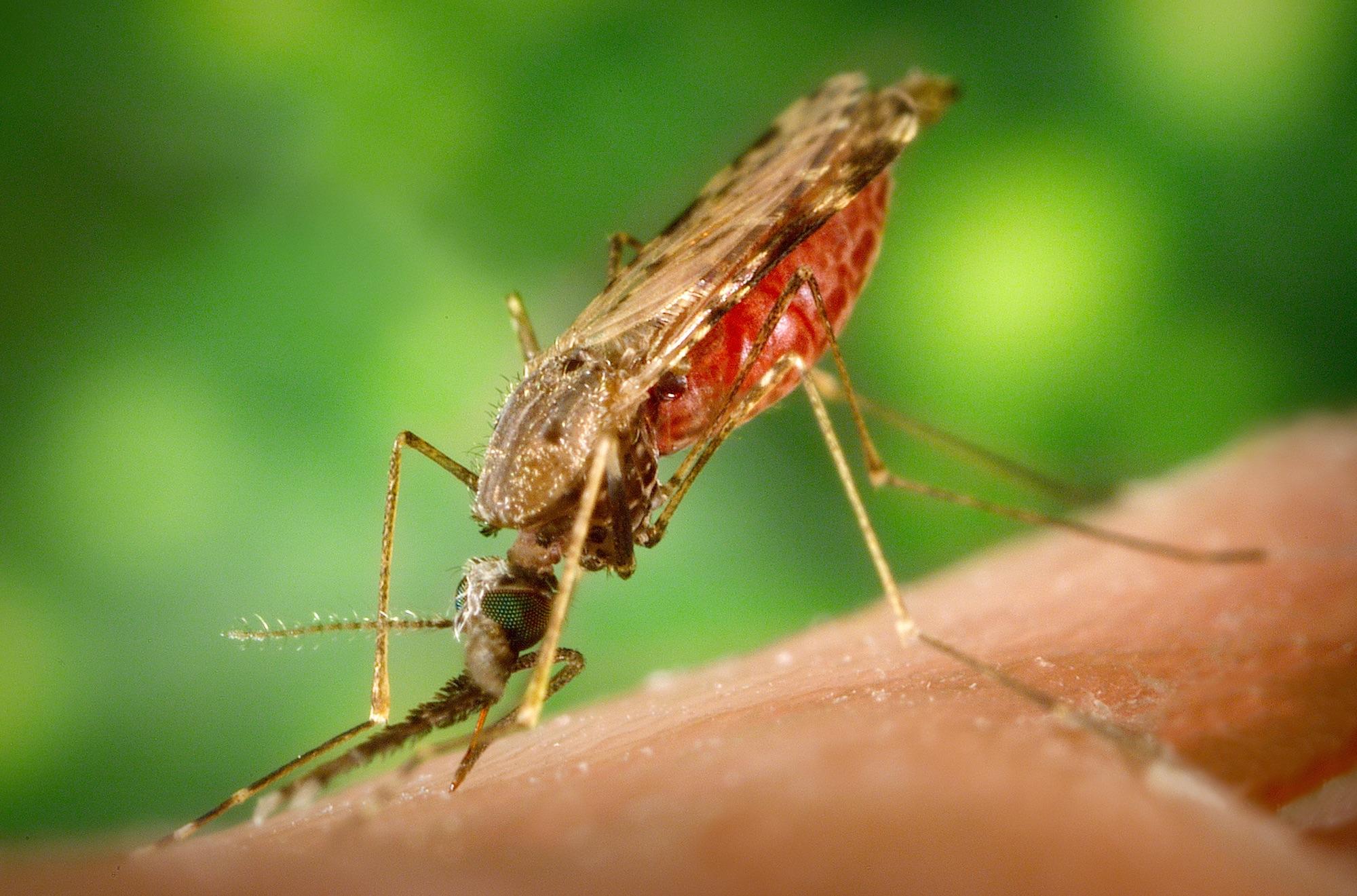 Die Anopheles-Mücke überträgt den Malaria-Erreger.