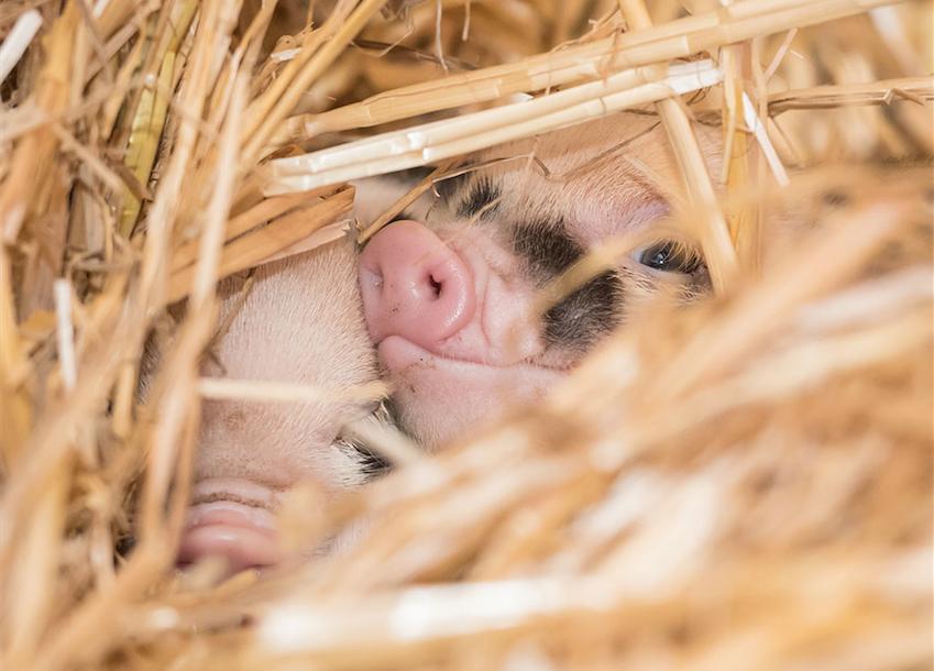 Minipig Jolly ist zum ersten Mal Mutter geworden. Sie kümmert sich hervorragend um ihren Nachwuchs, vermeldet der Zolli.