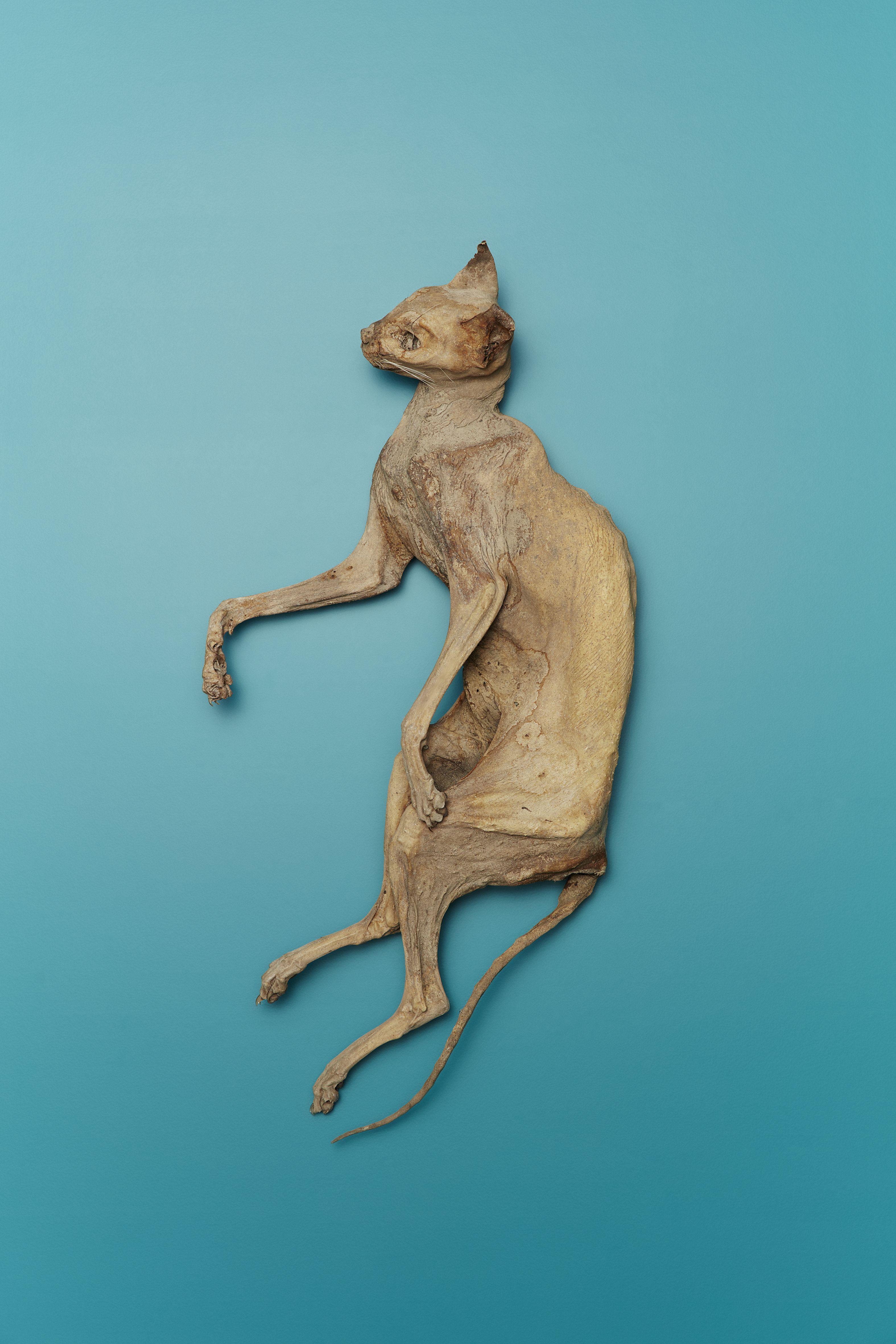 nicht die Katzenhexe, aber auch tot: Katzenmumie aus der Schweiz.