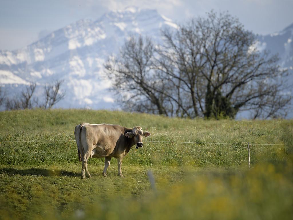 Eine Kuh weidet auf einer Wiese in Gretschins. In den Tiroler Alpen wurde eine Wanderin von einer Kuh tödlich verletzt. (KEY