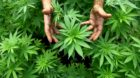 epa03462089 (FILE) A file photo dated 31 August 2010 shows a worker tending to cannabis plants at a growing facility for the