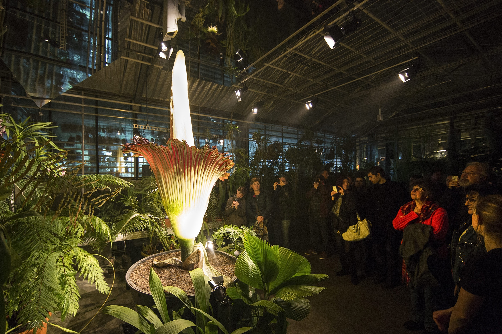 Visitors look at a blooming Titan Arum (amorphophallus titanum) in the botanical garden of the university of Basel, in Basel,