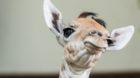 Willkommen Osei: die kleine Giraffe ist der jüngste Zolli-Bewohner.