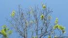 HANDOUT - Eine vom Eschentriebsterben befallene Esche weist ein markantes Zweigsterben auf, Bild vom 5. Mai 2011. Seit 2008 w