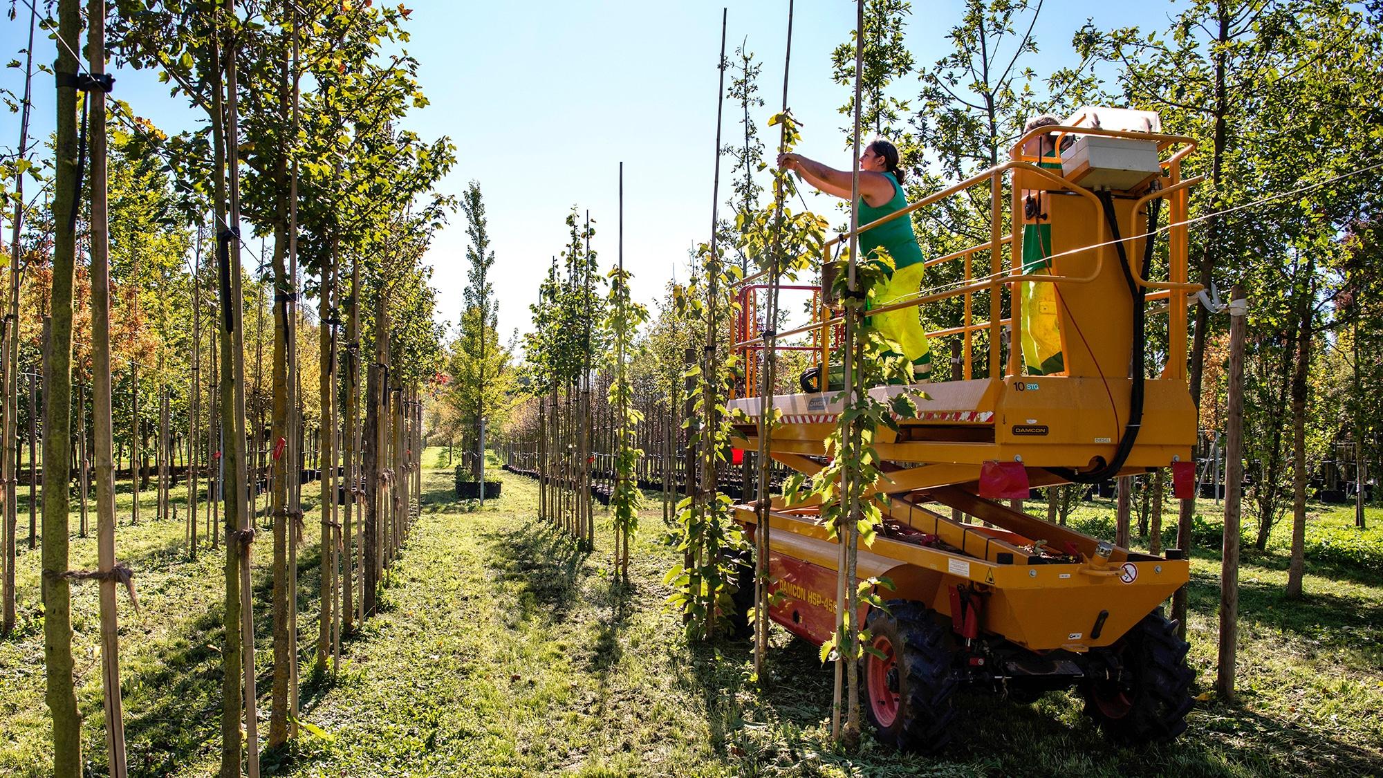 Die Stadtgärtnerei zieht die neuen Bäume in Arlesheim, bevor sie dann in der Stadt verpflanzt werden.