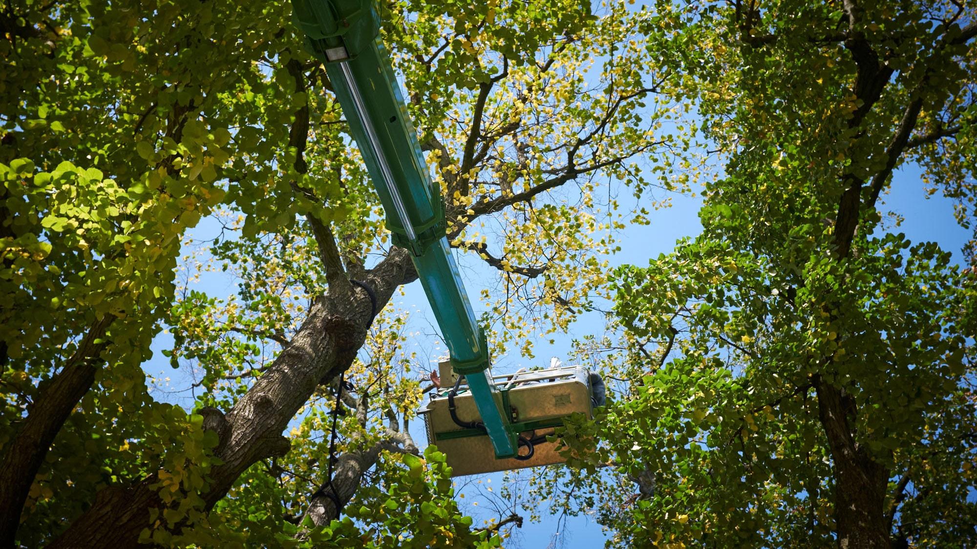 Die Stadtgärtnerei untersucht alle Bäume regelmässig. Falls ein Baum krank oder am Absterben ist, muss er gefällt werden.