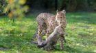 Mutter Novi und ihre Geparden-Jungen zogen  in die Etoschaanlage um.