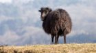 Portrait of a black domestic sheep Ouessant,which is the smallest sheep in the world, adapted to live in windy areas.