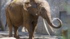 Die Elefantendame Malayka (1971-2018) hatte die Angewohnheit, die Besucher zu bespritzen.