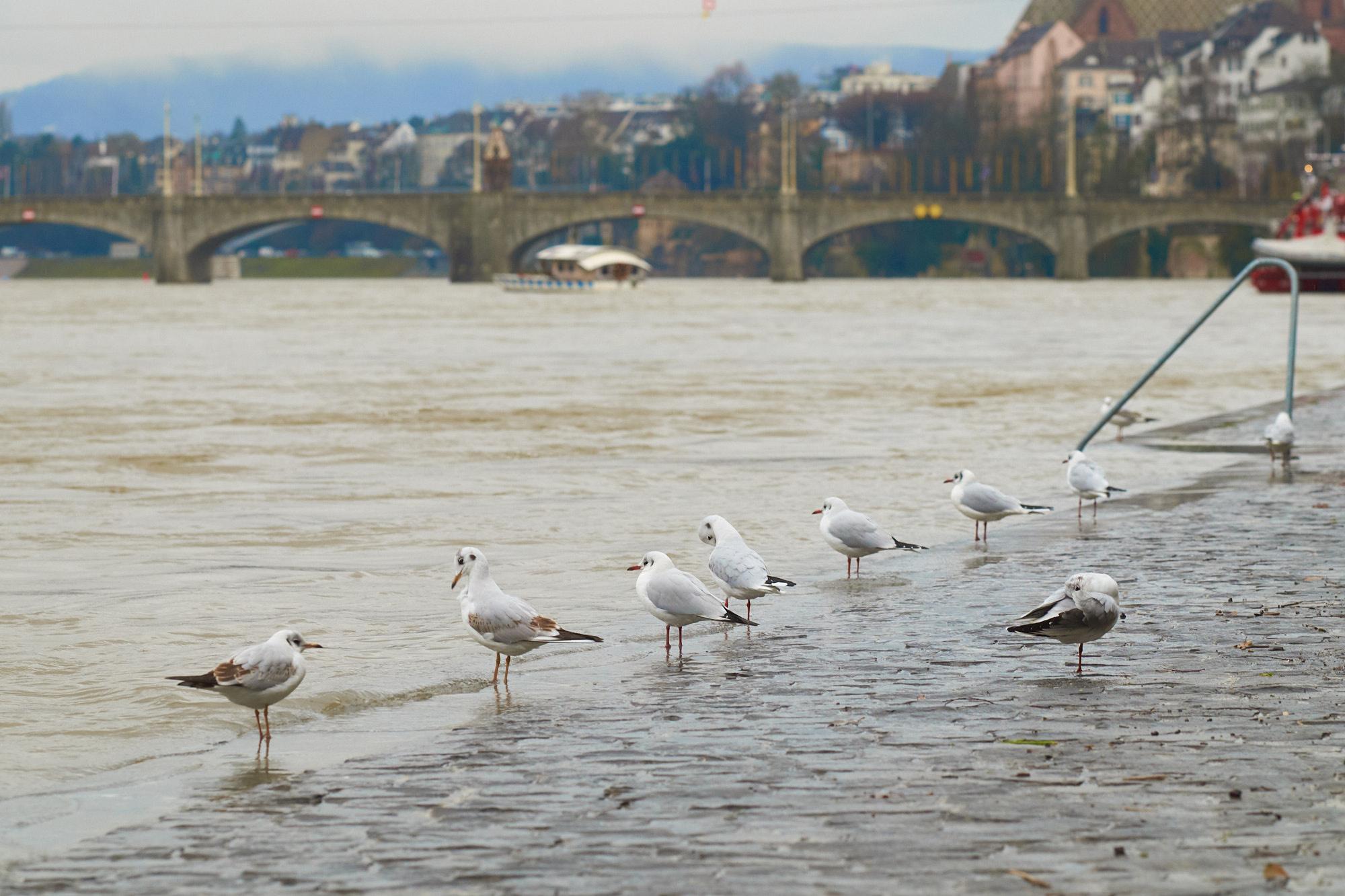 Der Rheinpegel in Basel steigt, was den Möwen so ziemlich egal ist.