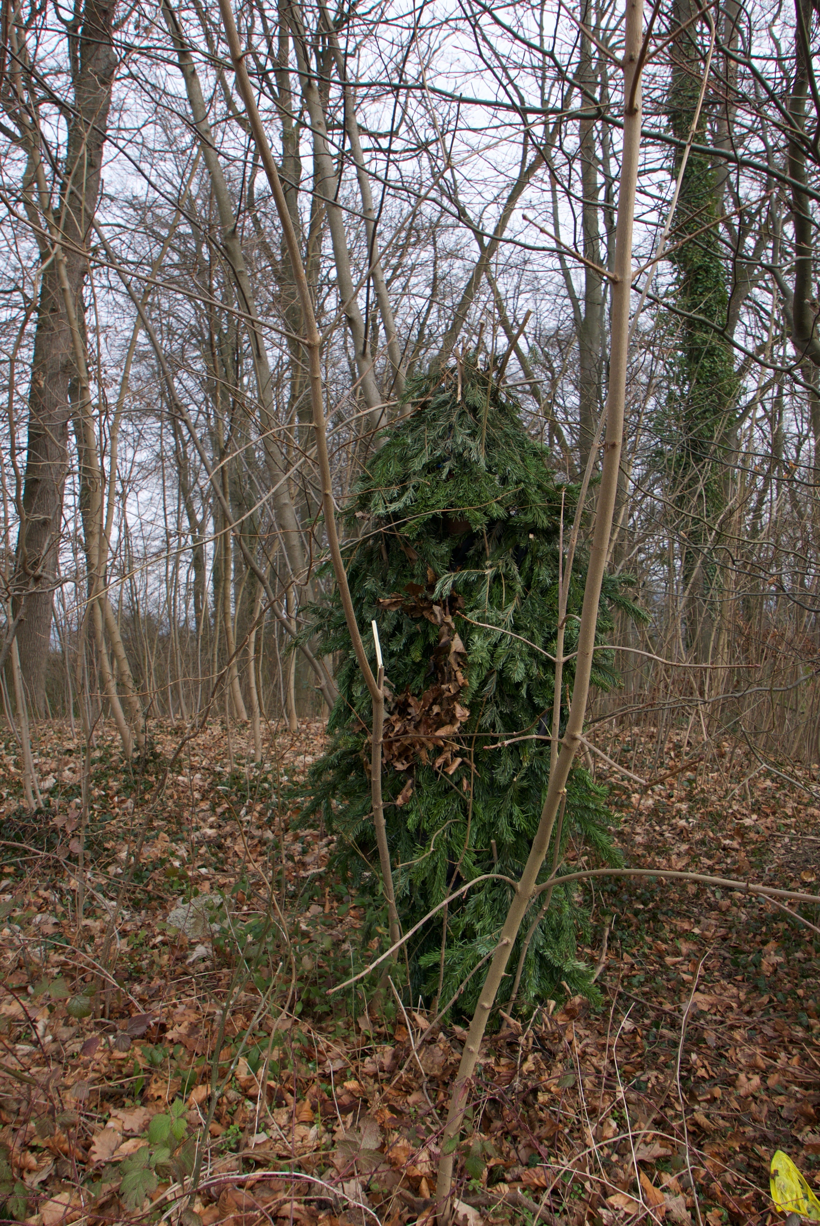 Ein Fasnachtsbaum noch im richtigen Wald.