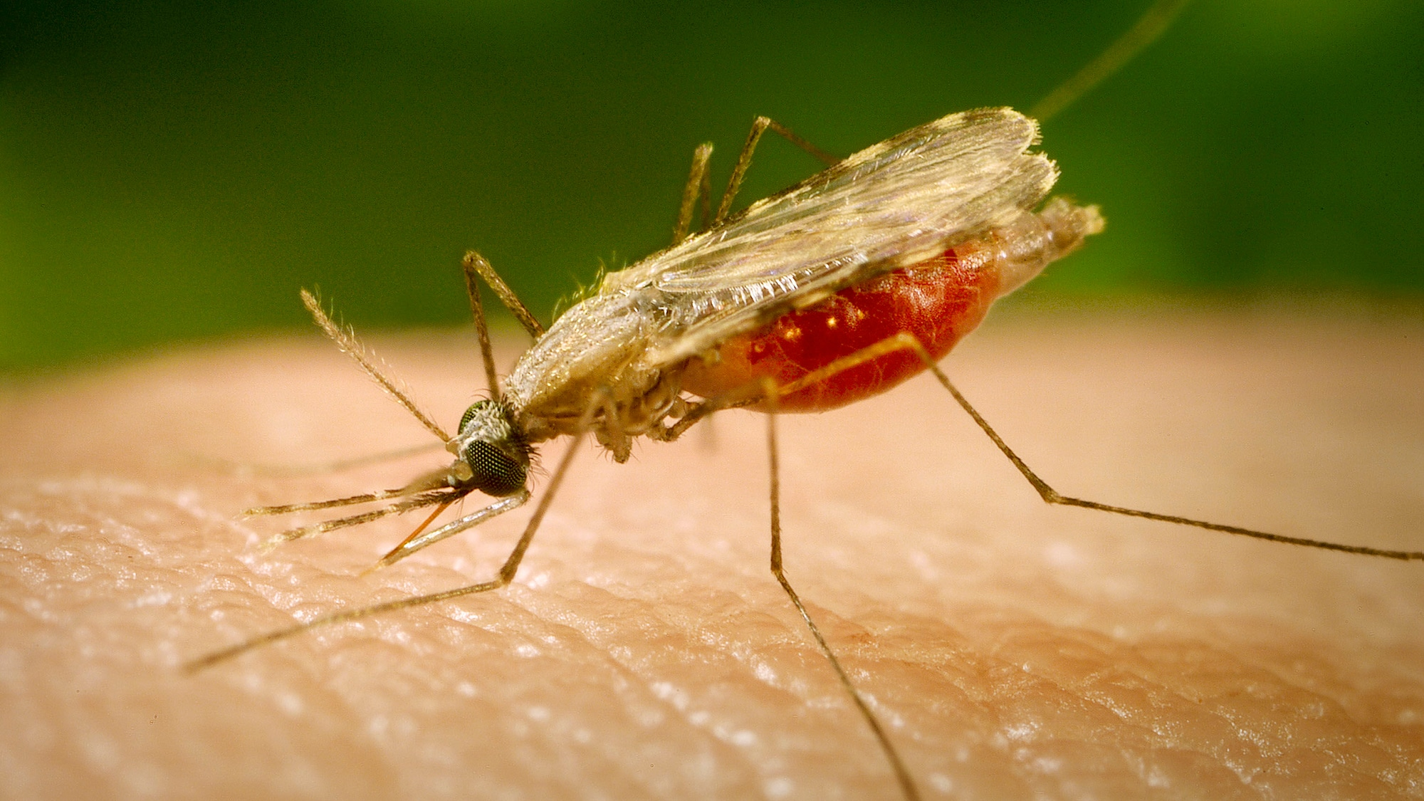 This close-up photograph shows the Anopheles minimus mosquito, a malaria vector of the Orient, feeding on a human host. An. M