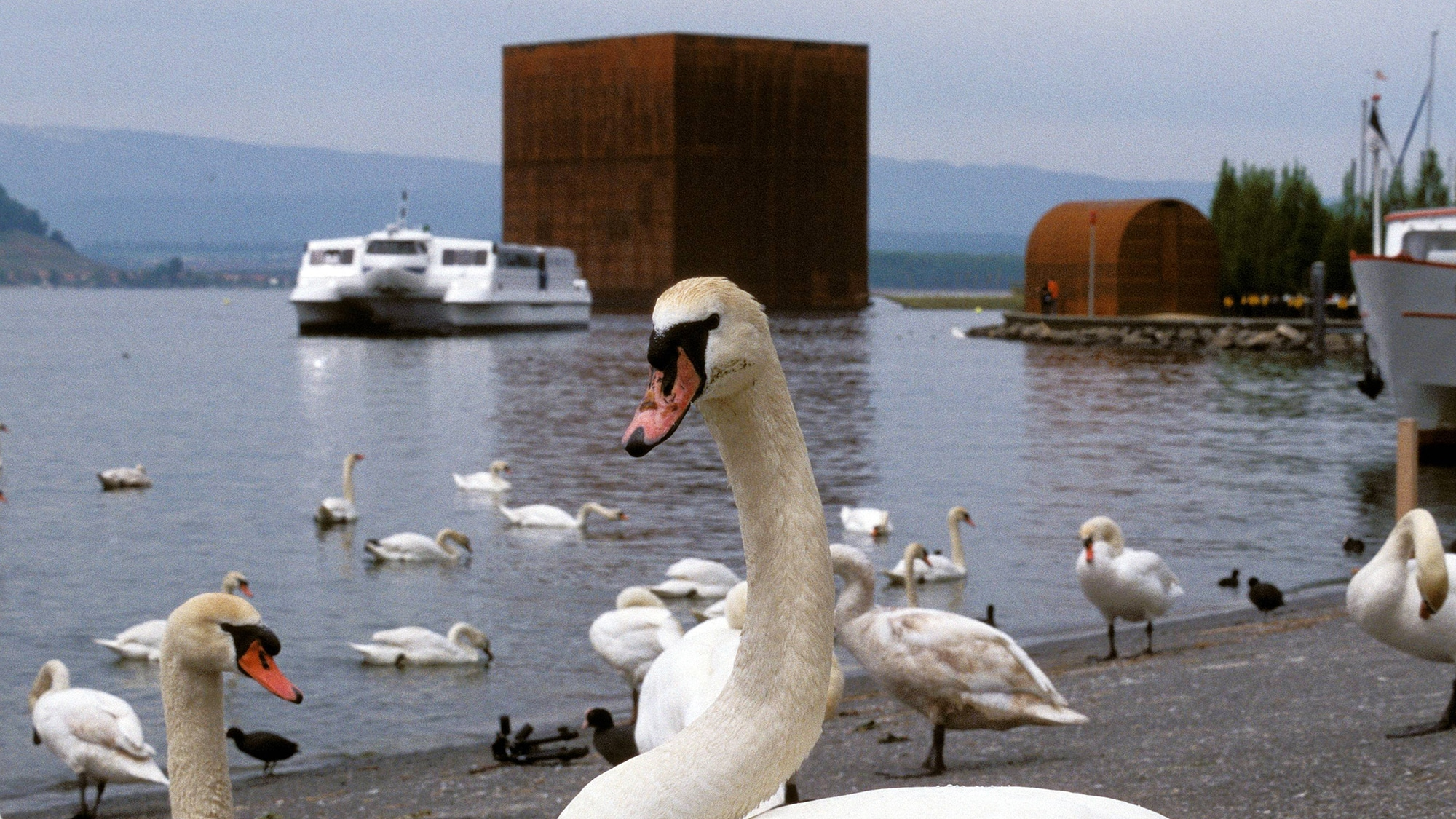 Bildnummer: 50154606  Datum: 27.05.2002  Copyright: imago/R¸ttimannSchw‰ne am Ufer des Murtensees vor dem Expo-Kubus - ei