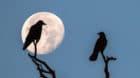 Zwei Saatkr‰hen (Corvus frugilegus), Silhouetten, sitzen bei Vollmond auf abgestorbenen ƒsten Copyright: imageBROKER/Wilfr