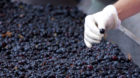 Ripened Brunello grapes, Sangiovese, being harvested at the wine estate of La Fornace at Montalcino in Val D Orcia, Tuscany,