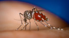 An Aedes albopictus female mosquito feeds on a human blood meal.