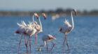 Rosaflamingo, Rosa Flamingo (Phoenicopterus roseus, Phoenicopterus ruber roseus), Trupp im Flachwasser auf Nahrungssuche, Fra