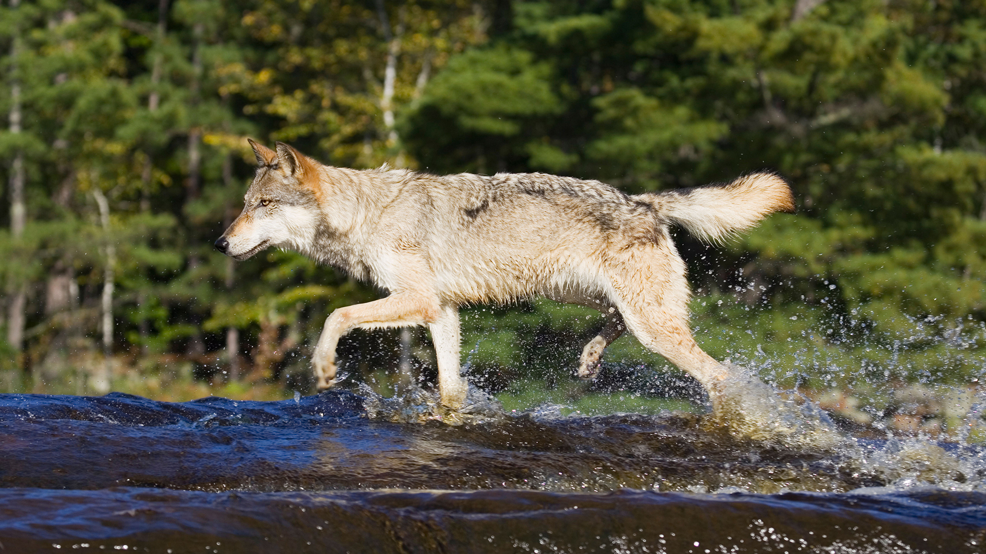 AXYERM Gray wolf (Canis lupus) running through water, in captivity, Minnesota Wildlife Connection, Sandstone, Minnesota, USA