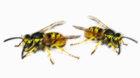 Normalerweise kommen sie mit dem Sommer, dieses Jahr sind bisher allerdings bemerkenswert wenige Wespen unterwegs.