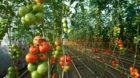 Auch der Birsmattehof betreibt ein Gewächshaus, um seinen Kunden Tomaten anbieten zu können.