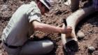 So sauber geputzte Zähne hatte dieses Mammut wohl zeitlebens nicht: Ein Basler Archäologe legt 1978 Hand an.