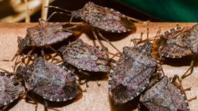 Die Halyomorpha halys, im Volksmund auch Stinkkäfer genannt.