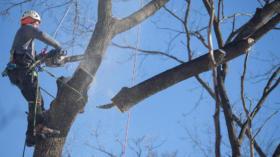Abgestorben, von Pilzen befallen oder verfault: Die Stadtgärtnerei muss 229 Bäume fällen oder zurückschneiden.