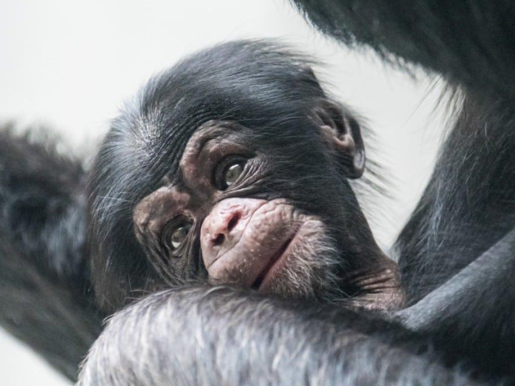 Im Zoo Basel ist der Schimpansenjunge Obaye geboren.